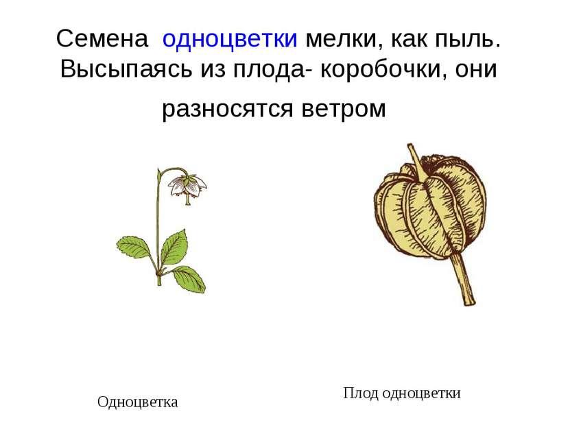 Семена одноцветки мелки, как пыль. Высыпаясь из плода- коробочки, они разнос...