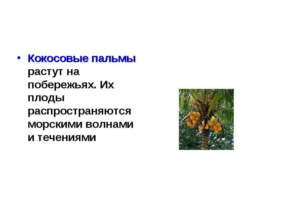 Кокосовые пальмы растут на побережьях. Их плоды распространяются морскими вол...