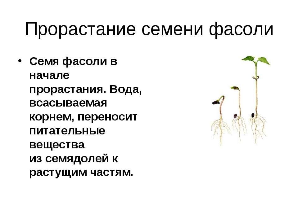 Прорастание семени фасоли Семя фасоли в начале прорастания. Вода, всасываемая...