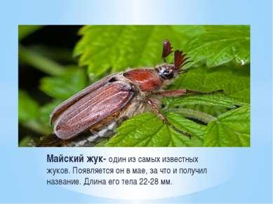 Майский жук- один из самых известных жуков. Появляется он в мае, за что и пол...