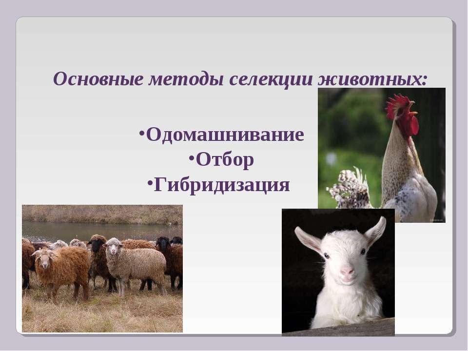 Одомашнивание Отбор Гибридизация Основные методы селекции животных: