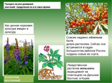 Козлятник восточный Процесс окультуривания растений продолжается и в наше вре...