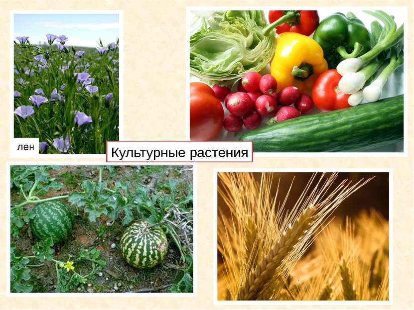 лен Культурные растения