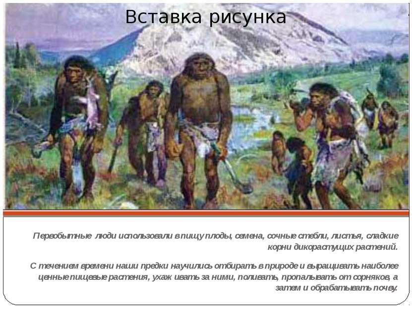 Первобытные люди использовали в пищу плоды, семена, сочные стебли, листья, сл...