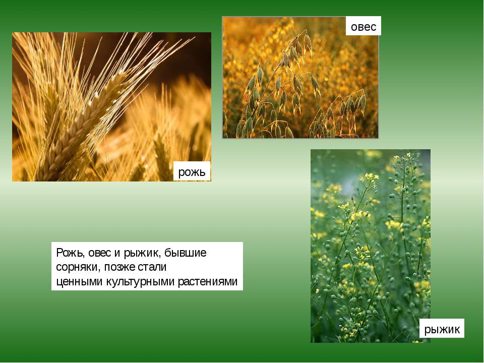 Рожь, овес и рыжик, бывшие сорняки, позже стали ценными культурными растениям...