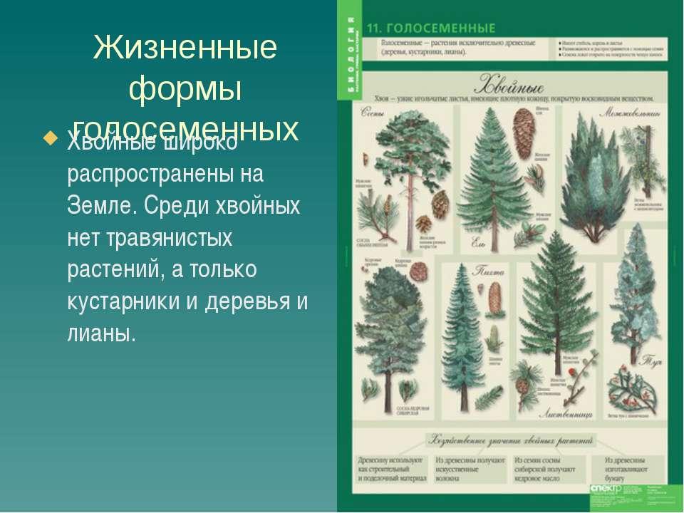 Презентация к уроку в 7 классе: классификация голосеменных растений