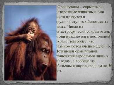 Орангутаны – скрытные и осторожные животные, они часто прячутся в труднодосту...