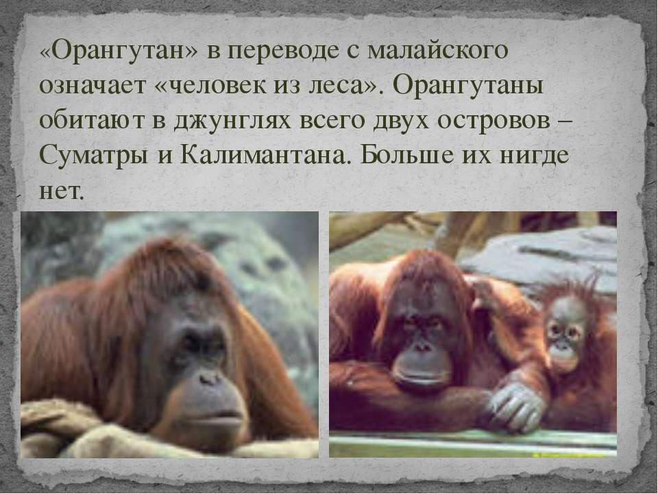«Орангутан» в переводе с малайского означает «человек из леса». Орангутаны об...