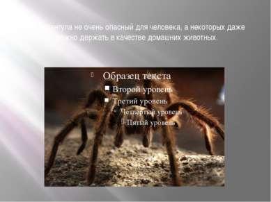 Яд тарантула не очень опасный для человека, а некоторых даже можно держать в ...