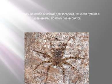 Крабы пауки не особо опасные для человека, их часто путают с отшельниками, по...