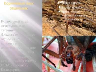 Коричневый паук отшельник Коричневый паук отшельник, или скрипичный паук (Lox...