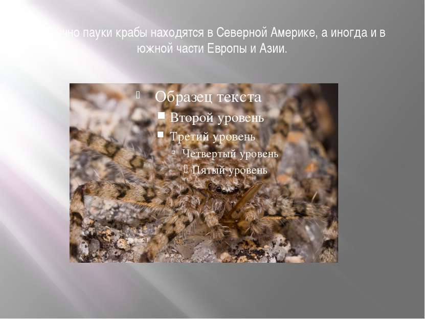 Обычно пауки крабы находятся в Северной Америке, а иногда и в южной части Евр...