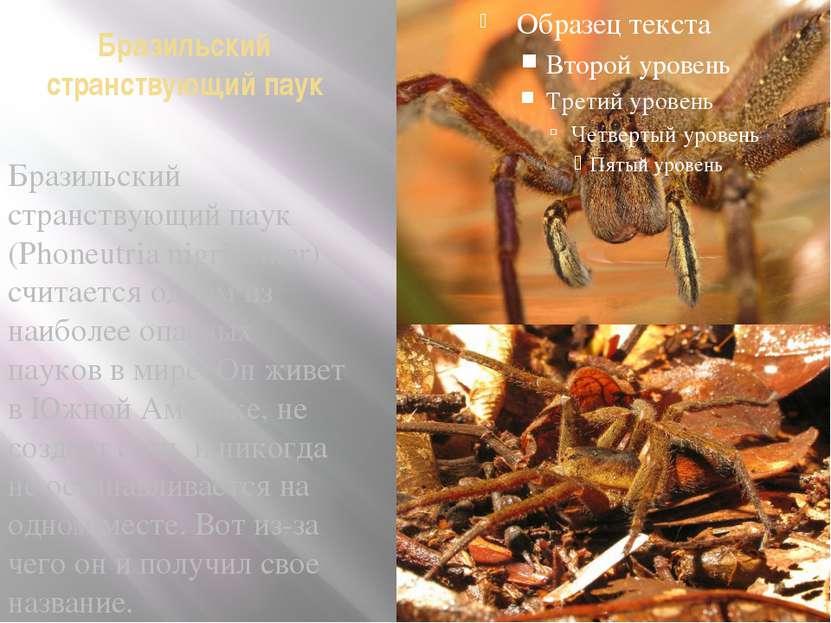 Бразильский странствующий паук Бразильский странствующий паук (Phoneutria nig...