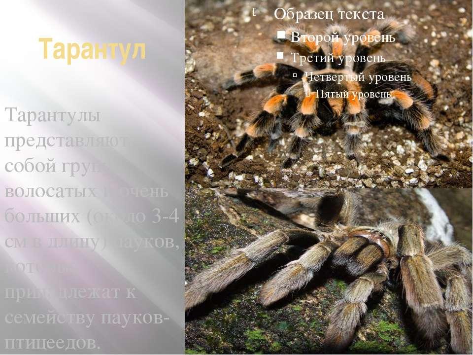 Тарантул Тарантулы представляют собой группу волосатых и очень больших (около...