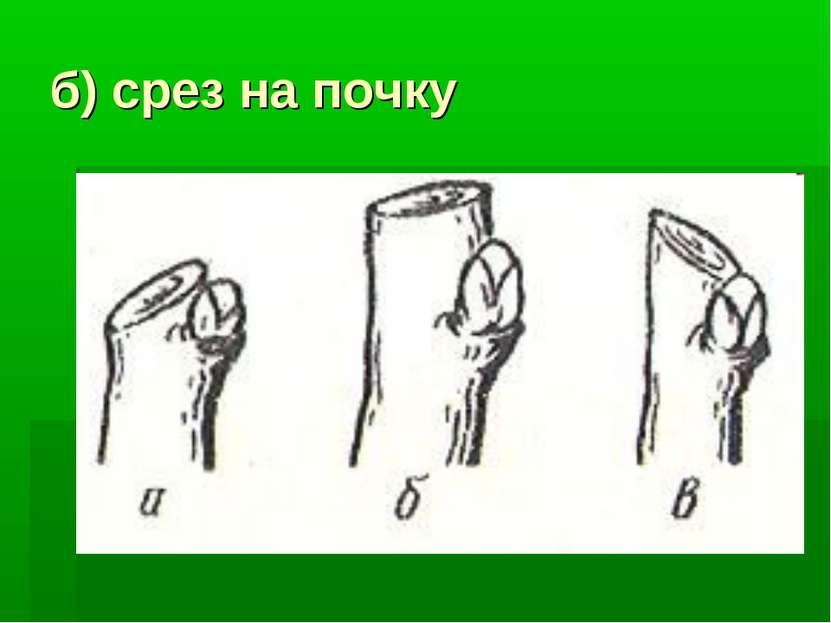 б) срез на почку