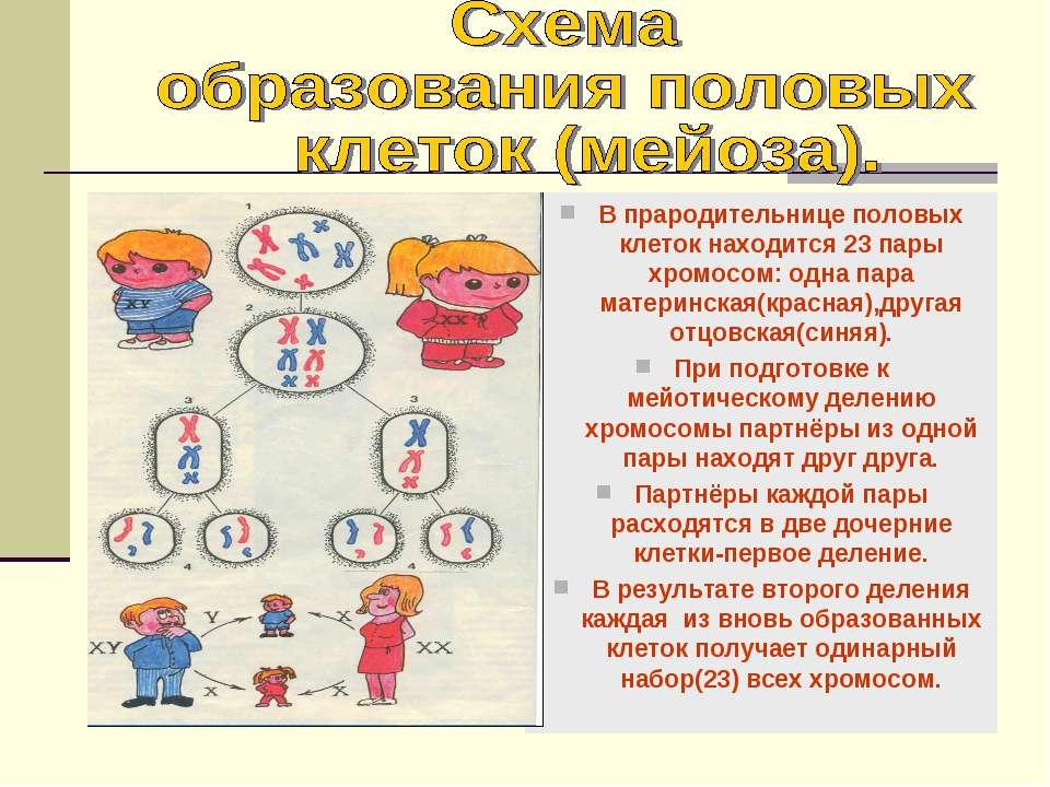 В прародительнице половых клеток находится 23 пары хромосом: одна пара матери...