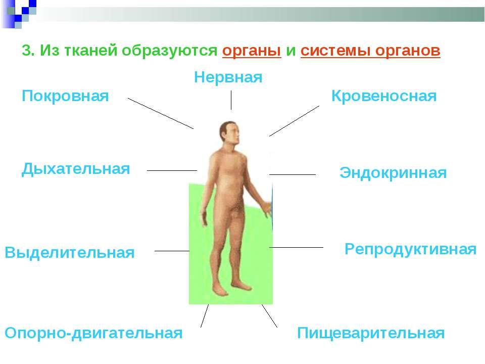 3. Из тканей образуются органы и системы органов Покровная Опорно-двигательна...
