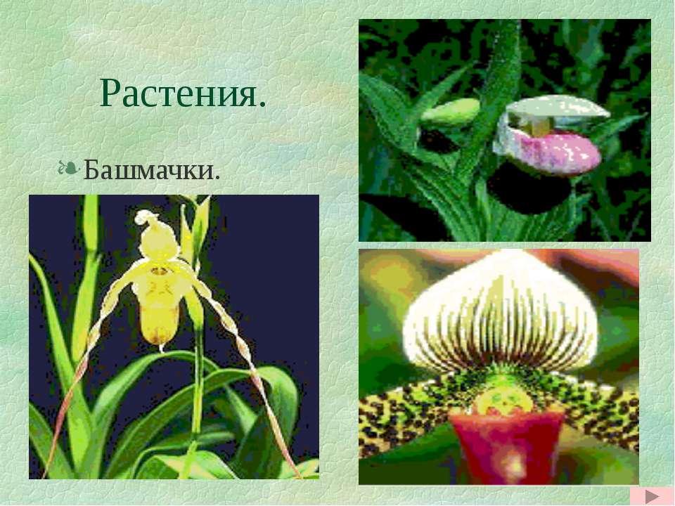 Растения. Башмачки. Башмачки.
