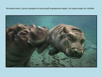 Бегемоты могут долго находиться под водой и прекрасно видят, что происходит н...