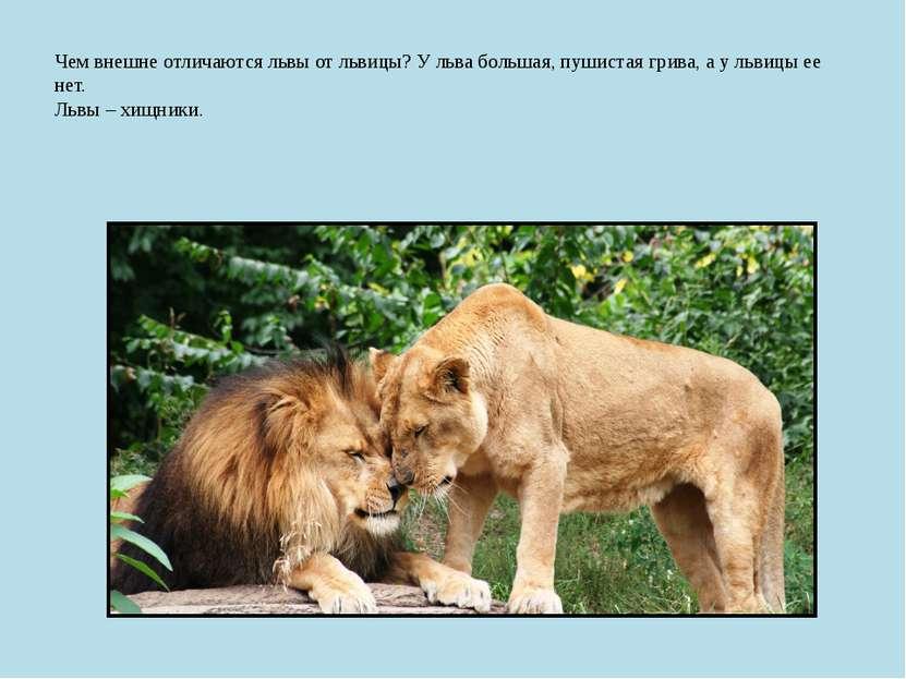 Чем внешне отличаются львы от львицы? У льва большая, пушистая грива, а у льв...