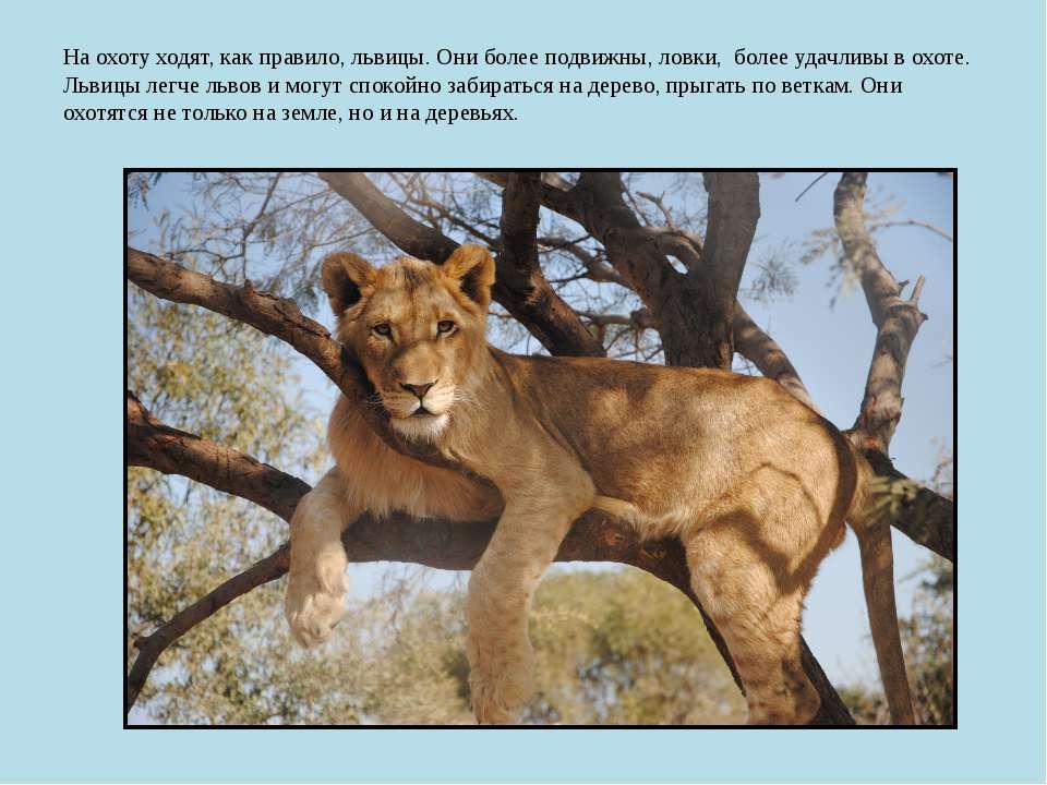 На охоту ходят, как правило, львицы. Они более подвижны, ловки, более удачлив...
