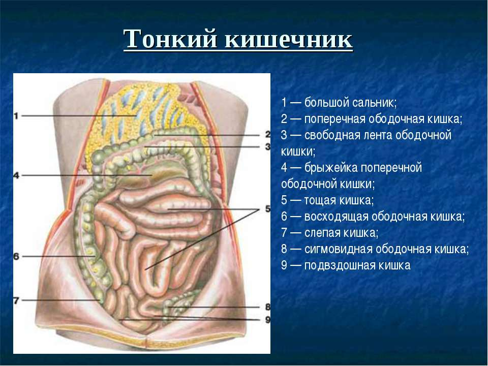 Тонкий кишечник 1 — большой сальник; 2 — поперечная ободочная кишка; 3 — своб...