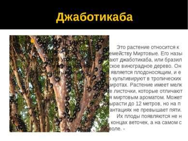 Джаботикаба Это растение относится к семейству Миртовые. Его называют джаботи...