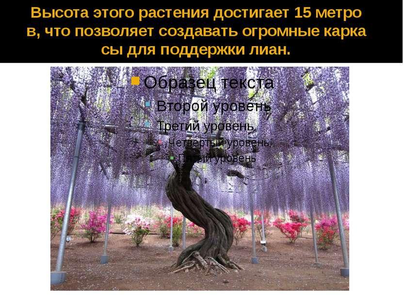 Высота этого растения достигает 15 метров, что позволяет создавать огромные к...