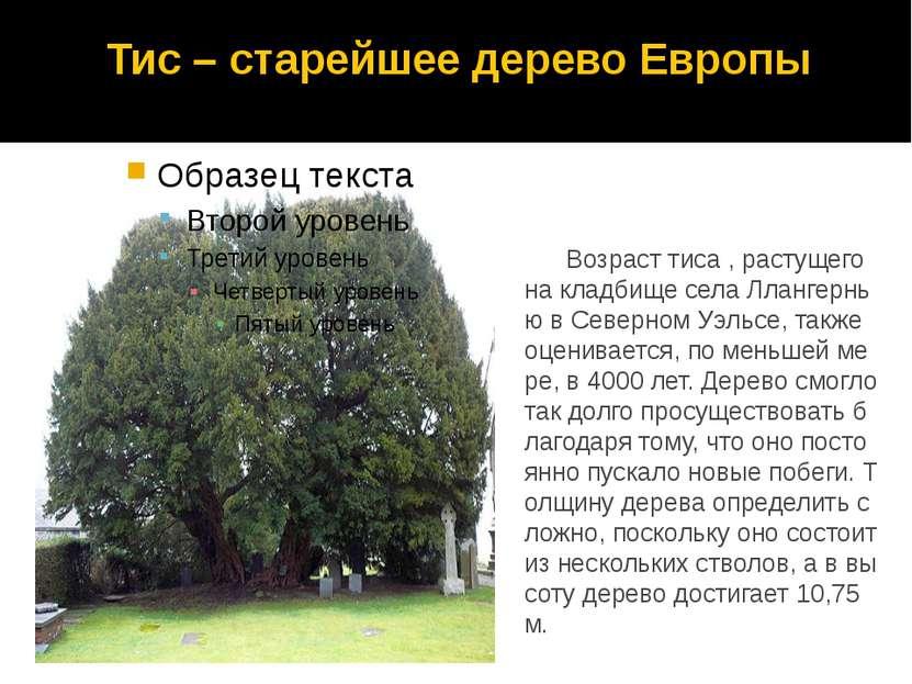 Тис – старейшее дерево Европы Возраст тиса , растущего на кладбище села Лланг...