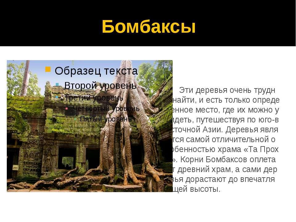 Бомбаксы Эти деревья очень трудно найти, и есть только определенное место, гд...