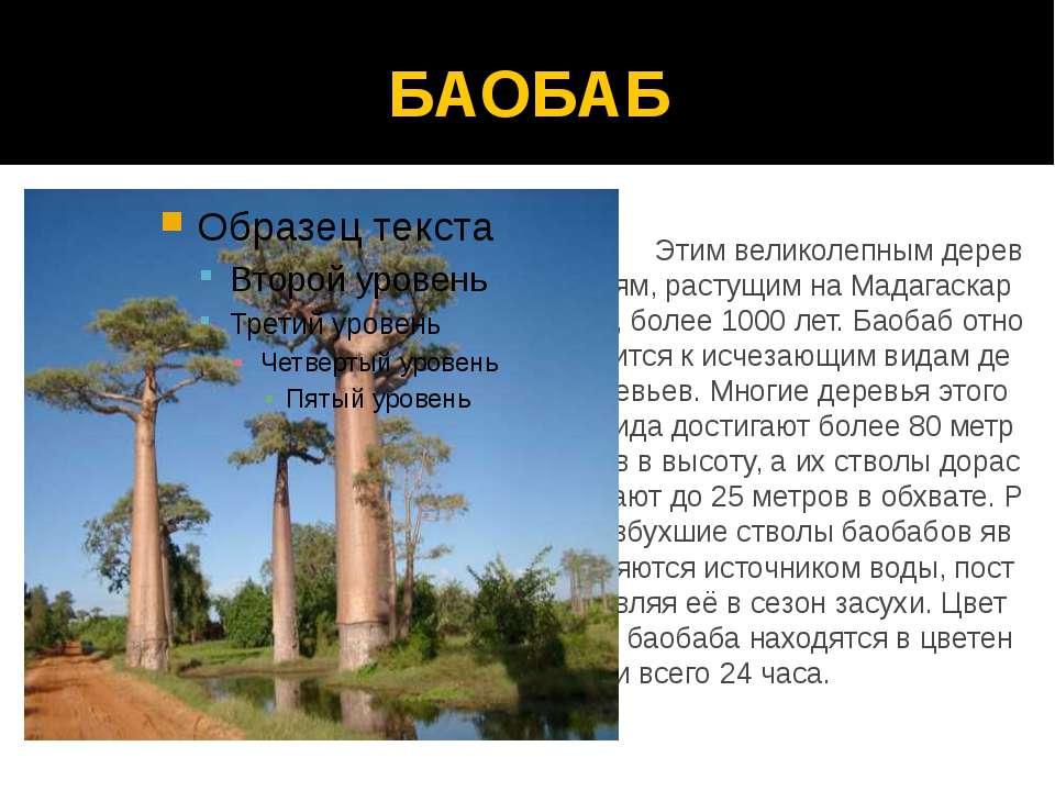 БАОБАБ Этим великолепным деревьям, растущим на Мадагаскаре, более 1000 лет. Б...