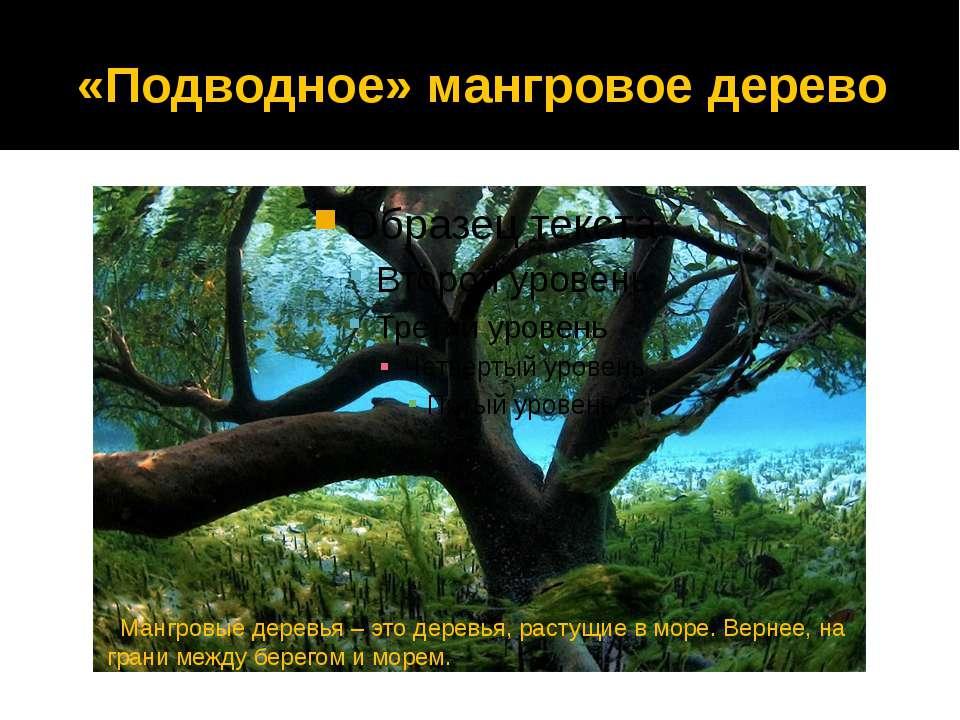 «Подводное» мангровое дерево Мангровые деревья – это деревья, растущие в море...