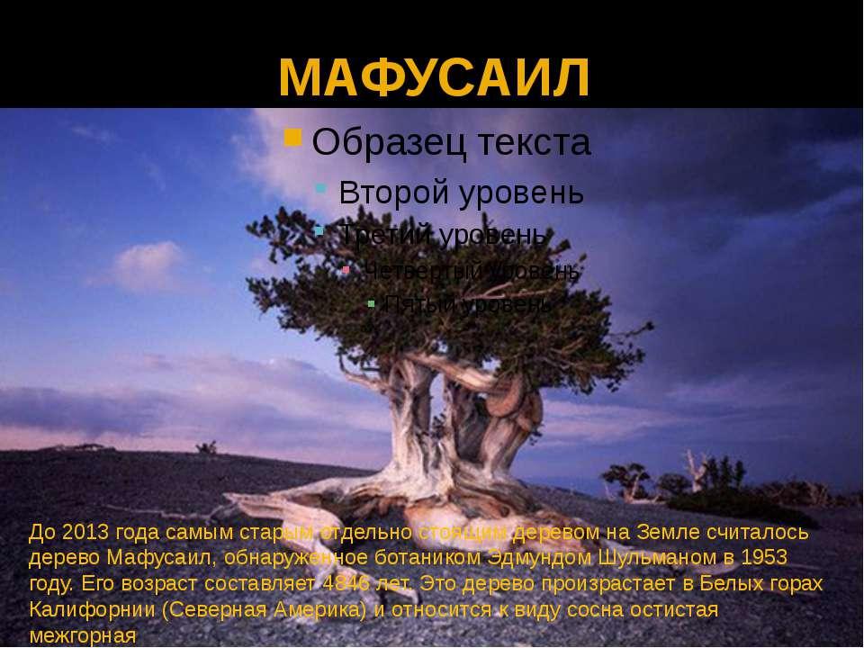 МАФУСАИЛ До 2013 года самым старым отдельно стоящим деревом на Земле считалос...