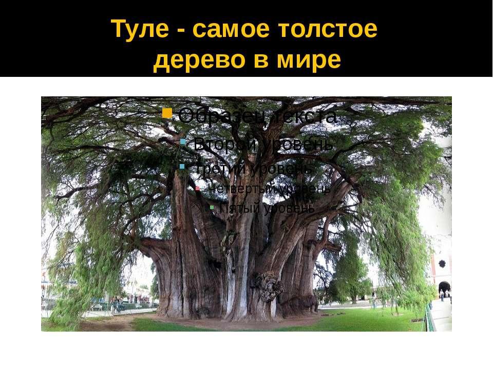 Туле - самое толстое дерево в мире