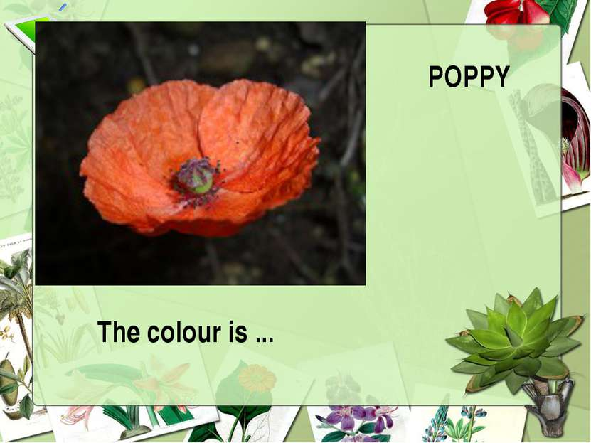 POPPY The colour is ...