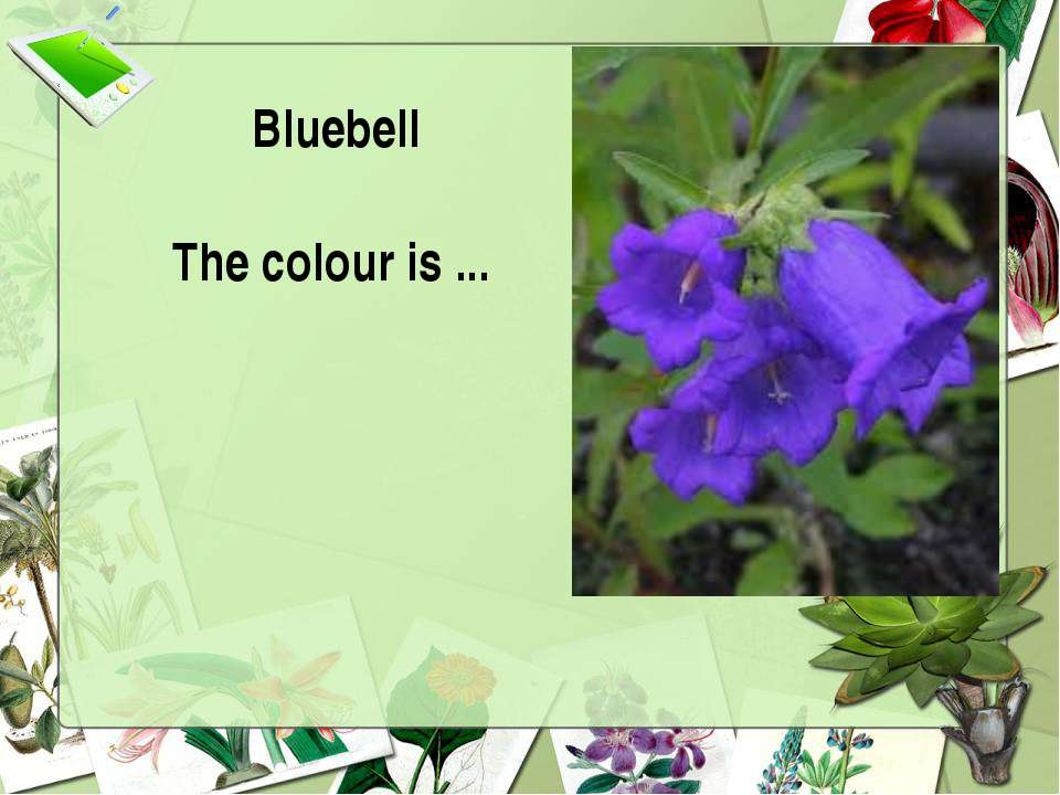 Bluebell The colour is ...