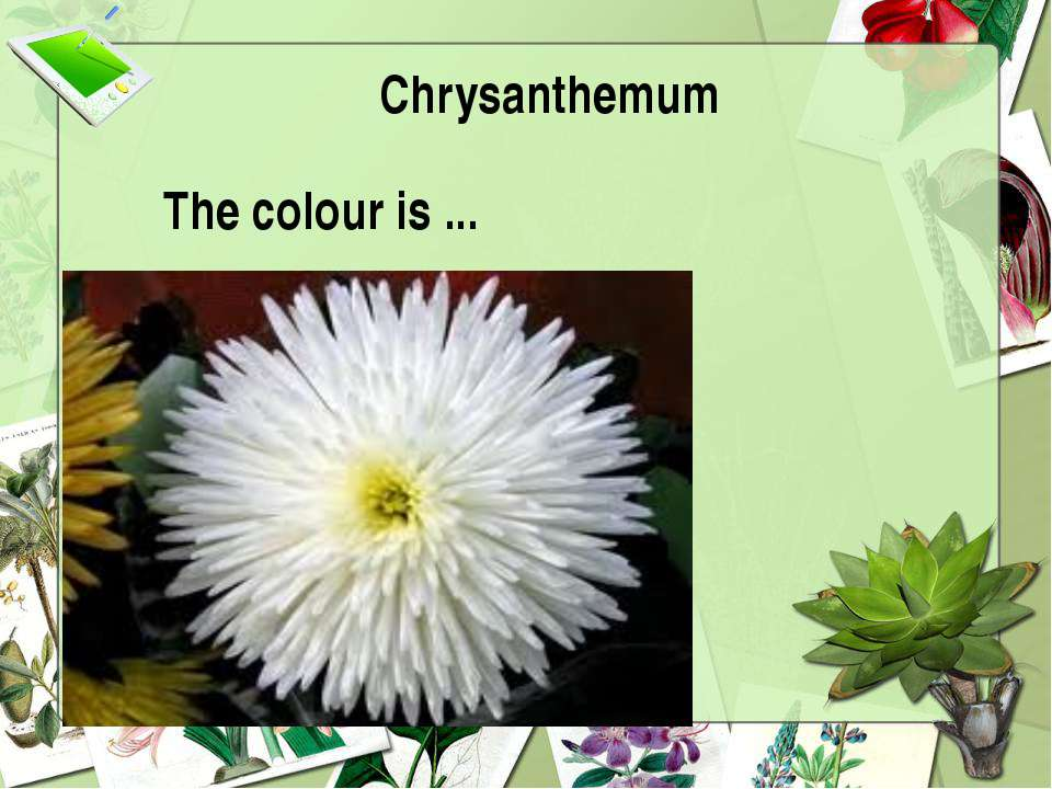 Chrysanthemum The colour is ...
