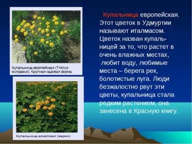 Купальница европейская. Этот цветок в Удмуртии называют италмасом. Цветок наз...