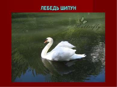 ЛЕБЕДЬ ШИПУН
