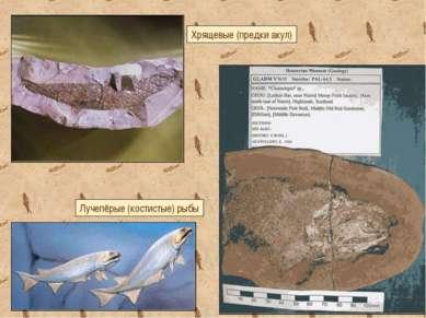 Лучепёрые (костистые) рыбы Хрящевые (предки акул)