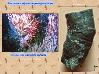 трубчатые черви рифтии Riftia pachyptila Современная ископаемая Бентосная мак...