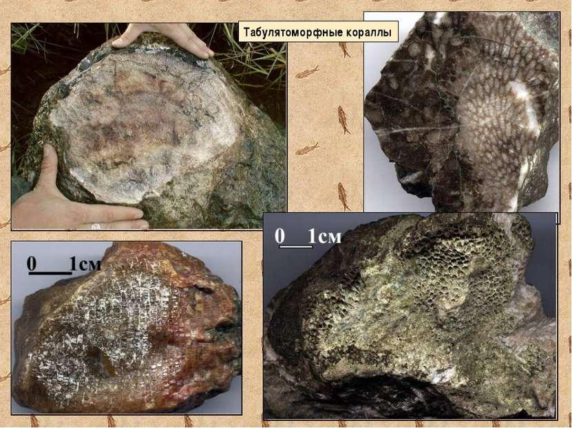 Табулятоморфные кораллы