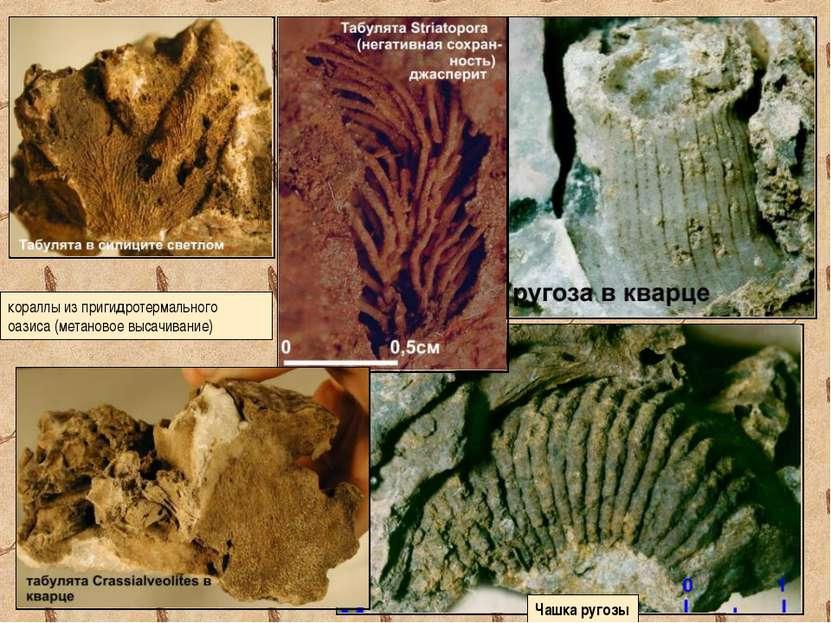 кораллы из пригидротермального оазиса (метановое высачивание) Чашка ругозы