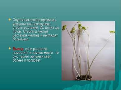 Спустя некоторое время мы увидели как вытянулись стебли растения. Их длина до...