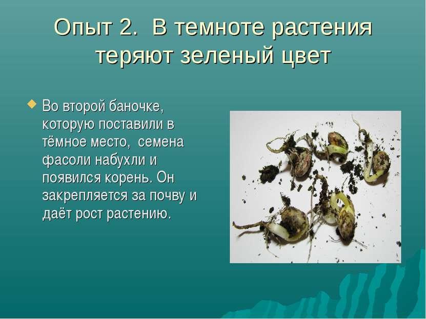 Опыт 2. В темноте растения теряют зеленый цвет Во второй баночке, которую пос...