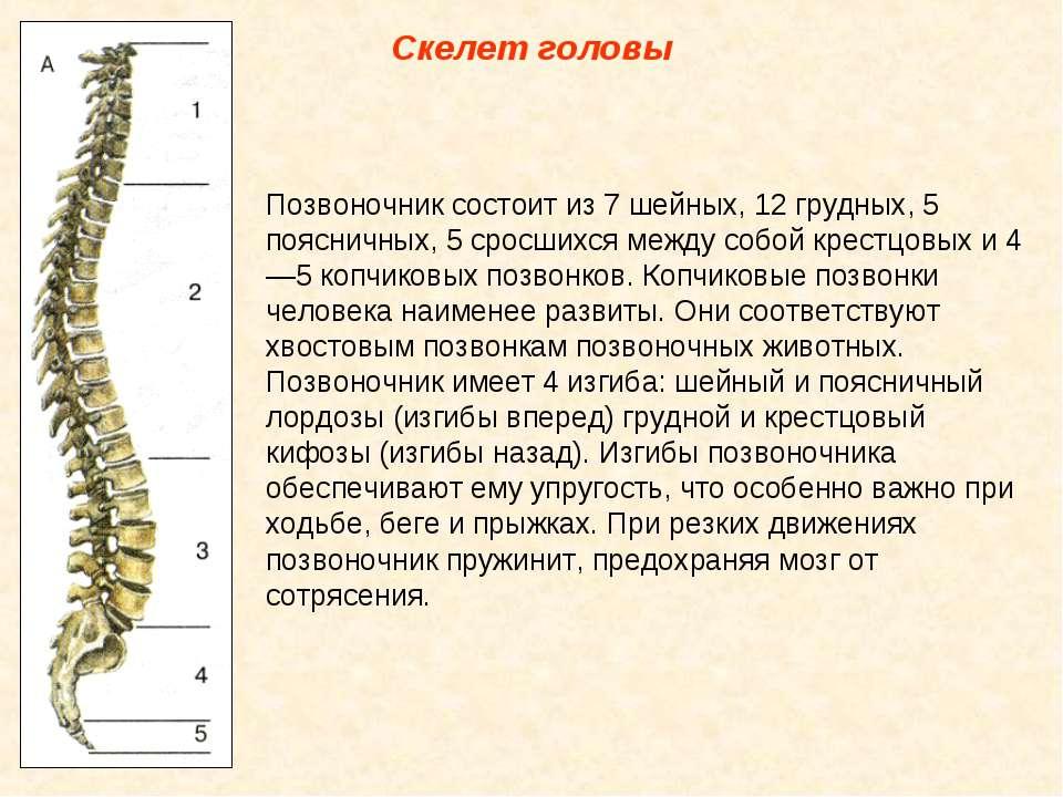 Скелет головы Позвоночник состоит из 7 шейных, 12 грудных, 5 поясничных, 5 ср...