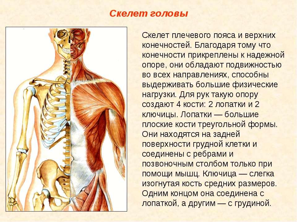 Скелет головы Скелет плечевого пояса и верхних конечностей. Благодаря тому чт...