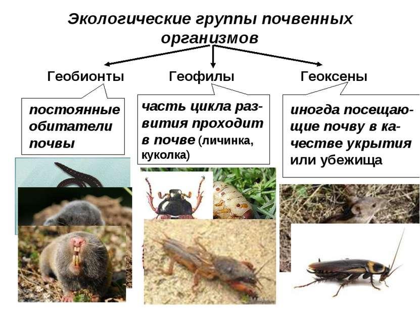 Экологические группы почвенных организмов Геобионты Геофилы Геоксены постоянн...