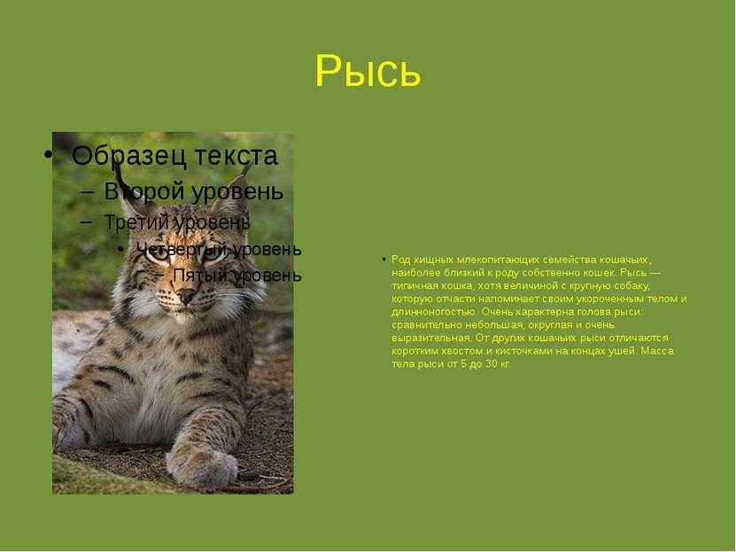 Рысь Род хищных млекопитающих семейства кошачьих, наиболее близкий к роду соб...