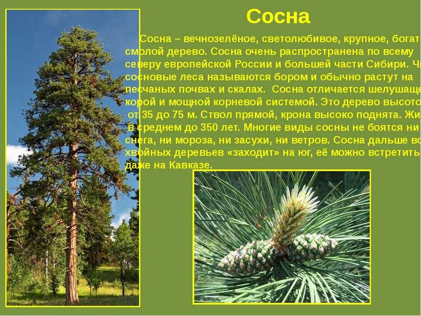 Сосна Сосна – вечнозелёное, светолюбивое, крупное, богатое смолой дерево. Сос...